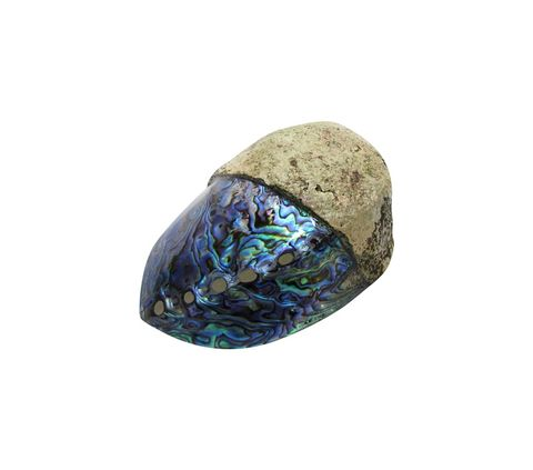 POLISHED SHELL - PAUA - PREMIUM - HALF/HALF (120-150MM)