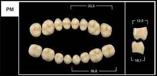 PM A3.5 UPPER POSTERIOR TRIBOS TEETH