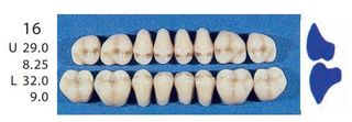 16-A2U POSTERIOR SENATOR UPPER TEETH