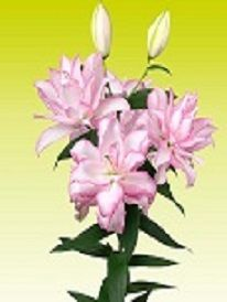 Pink Rose Lily