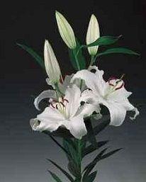 Oriental / OT Lily White