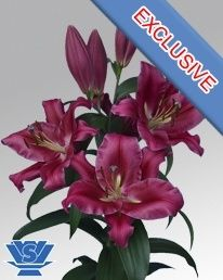 Oriental Lily Red