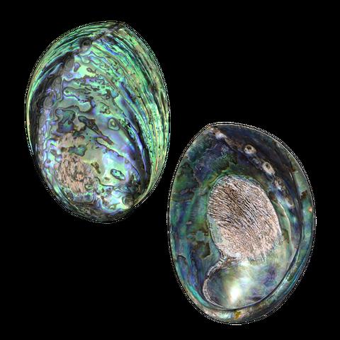 NZ Abalone Paua - Polished Holes filled
