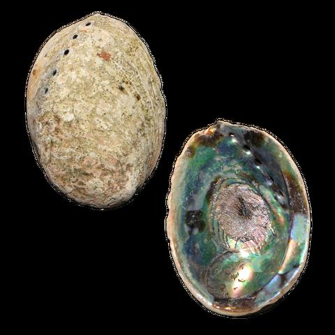 NZ Abalone Paua - Natural - Jewellery Making - Handselected Blue Colour