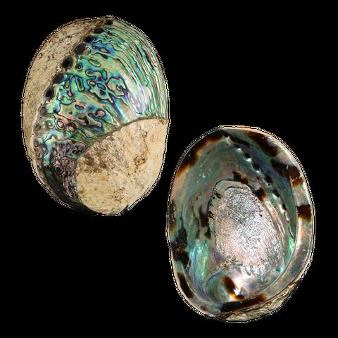 NZ Abalone Paua - Polished Spiral