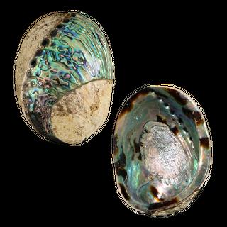 POLISHED SHELL - PAUA - SUPREME - SPIRAL (150-165MM)