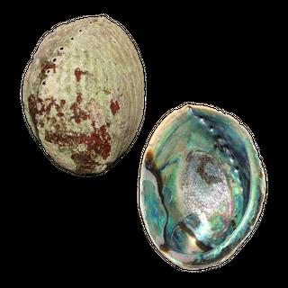 NATURAL SHELL - PAUA - JEWELLERY THIN - 140-200G (140-170MM)