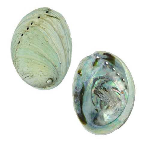 NZ Abalone Juvenile Paua - Natural Cleaned with Smooth Edge