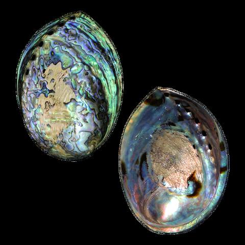 NZ Abalone Paua - Polished Lacquer Coated