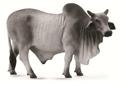 Brahman Bull - CO88579