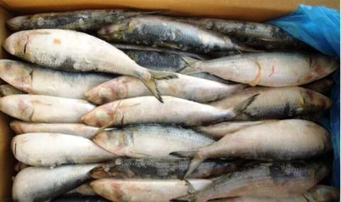 Imported Pilchard Bgrade 5Kg Box(Click & Collect)