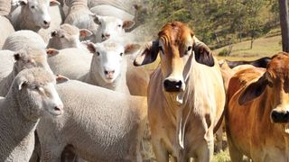 Cattle/Sheep