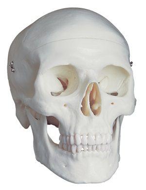 Human skull standard model 3-part