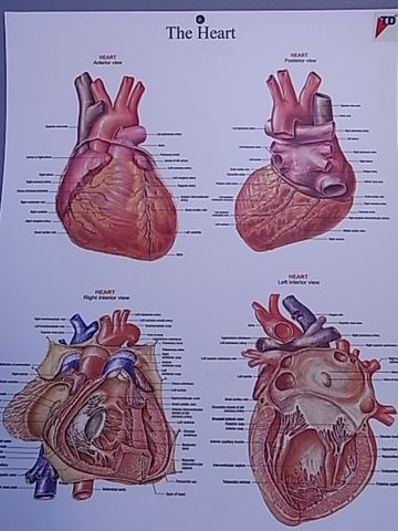 Chart Heart structure 50x 66cm plastic