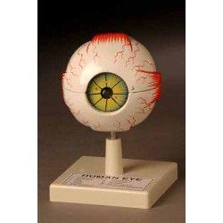 Human eye model plastic 3x