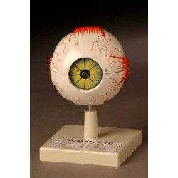 Human eye model plastic 3x
