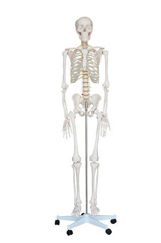 Life size skeleton c/w stand