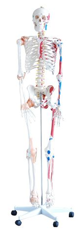 Skeleton with muscles & ligaments 180cm