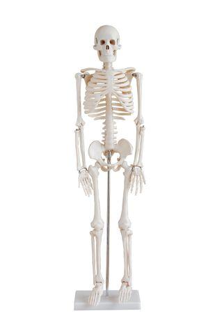 Skeleton model 85cm