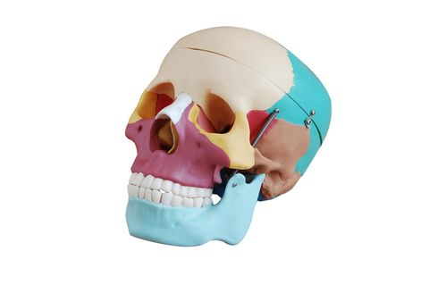 Life size skull with coloured bones