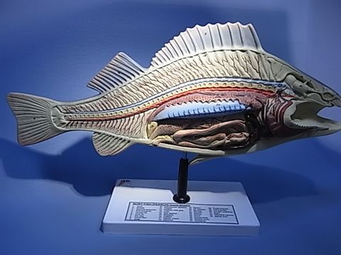 Model Fish dissection on stand