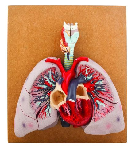 Model Heart with Lung & Larynx
