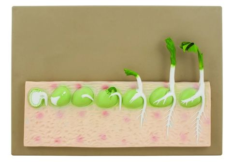Seed Germination model 7 stages (pea)