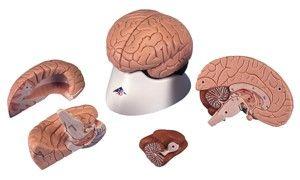 Model brain natural size 4 parts