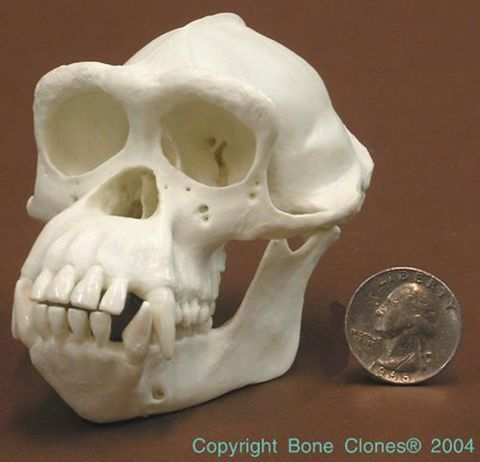 Chimpanzee skull half scale