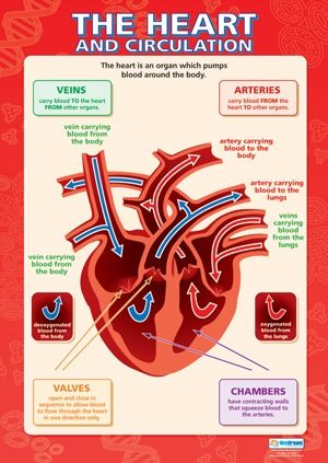 Chart - Heart and Circulation