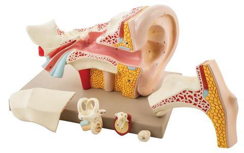 Model Ear human 6 parts 5x life size