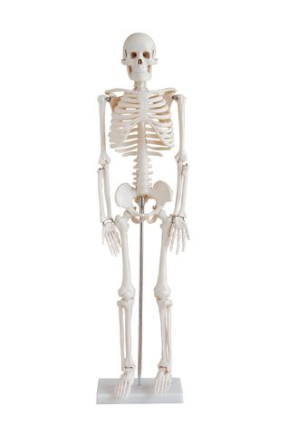 Model human skeleton 850mm on stand