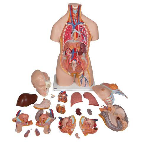 Torso male/female Organs 20 parts