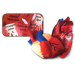 Human heart soft foam labelled