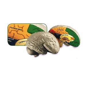 Human brain soft foam labelled