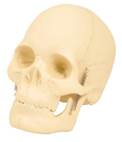 Model human skull 2 parts plastic EISCO