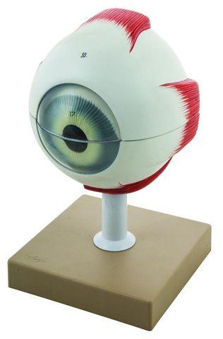 Model Eye human 6 parts 5x life size