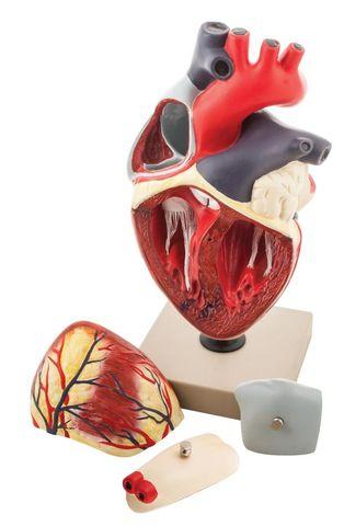 Model Heart human 4 parts