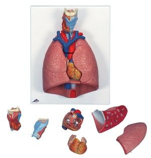 Model lungs larynx heart & diaphragm 7pt