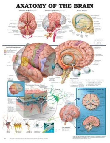 Chart Anatomy Human Brain (SL)