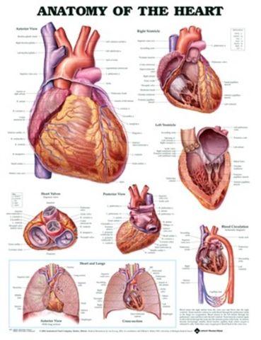 Chart Anatomy Human Heart (SL)