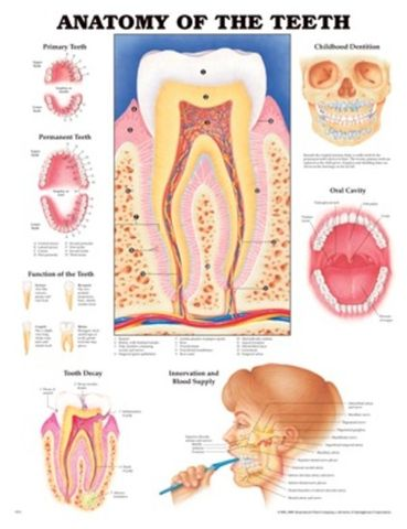 Chart Anatomy Teeth Human