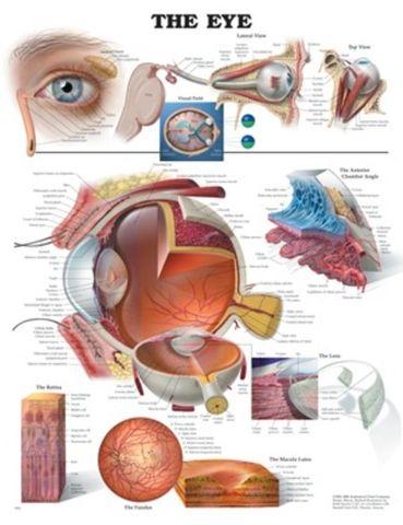 Chart Eye, Human
