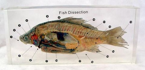 Fish dissected embedded