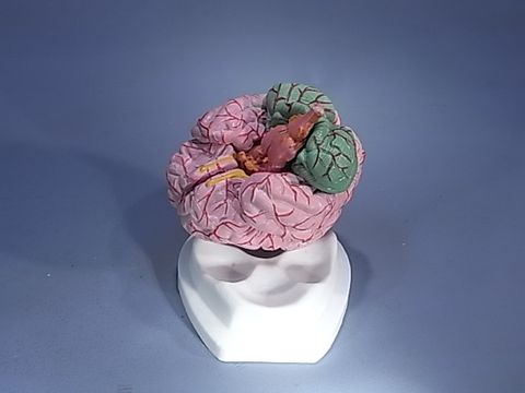 Model human brain with arteries 8 parts