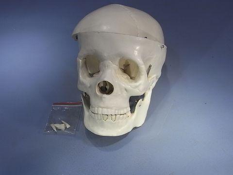 Model human skull 2 parts plastic