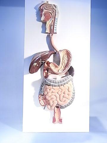 Model human digestive system