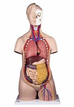 Anatomical standard torso 12 parts
