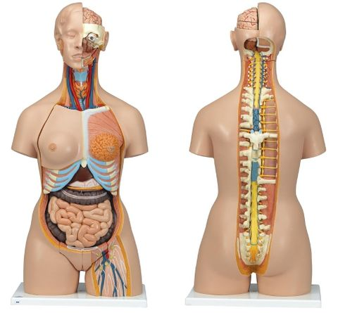 Torso with open back M/F organs 28 parts