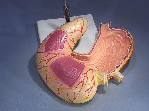 Model human stomach 2 parts